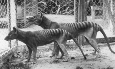 Zoologists hunting Tasmanian tiger declare 'no doubt' species still alive - The Guardian | Carlos luna's CE - Zoology | Scoop.it