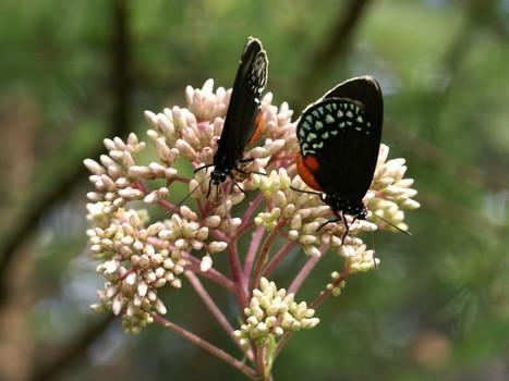 Photo de papillons exotiques du genre Eumaeus - Eumaeus sp. - Lycaenidae - Theclinae | Fauna Free Pics - Public Domain - Photos gratuites d'animaux | Scoop.it