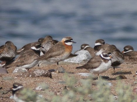 Mongolian, Lesser and Greater Sand Plovers   Bird ID   Scoop.it