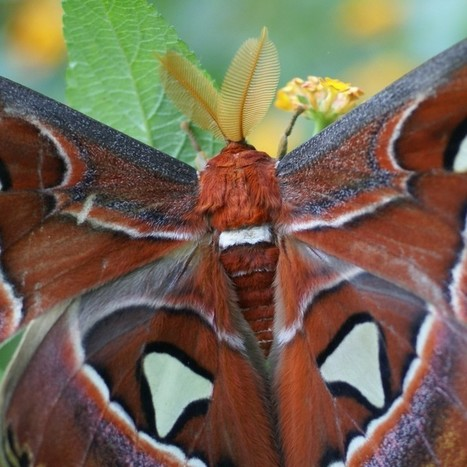 Photos de papillons : Attacus atlas - Bombyx atlas | Fauna Free Pics - Public Domain - Photos gratuites d'animaux | Scoop.it