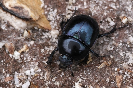 Dung beetles found to reduce survival of livestock parasites, new study shows   NERC media coverage   Scoop.it