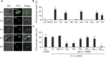 Fungal pathogen uses sex pheromone receptor for chemotropic sensing of host plant signals | Emerging Research in Plant Cell Biology | Scoop.it