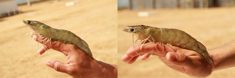 Red Sea Shrimp | National Aquaculture Group (NAQUA) | Scoop.it