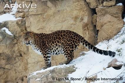 ARKive blog In the News: Amur leopard population increases - | amur leopard | Scoop.it