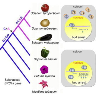 A Recently Evolved Alternative Splice Site in the BRANCHED1a Gene Controls Potato Plant Architecture: Current Biology | Emerging Research in Plant Cell Biology | Scoop.it