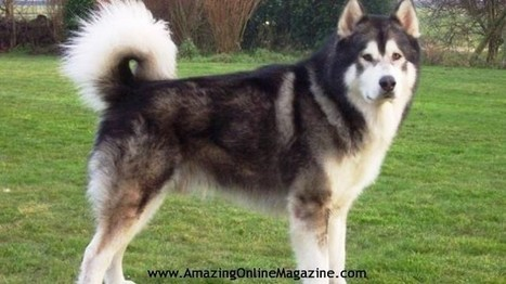 10 Most Dangerous Dog Breeds   Amazing Online Magazine   Scoop.it