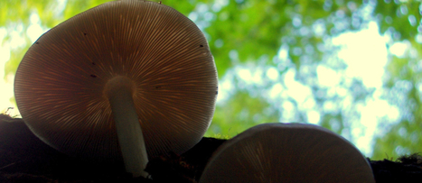 Vitamin D from Mushrooms, Sun, or Supplements?   Mushrooms and Health   Scoop.it