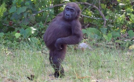 Strike a pose! 'Coolest gorilla of all time' puts supermodels to shame - Metro | Google+ tips and strategies | Scoop.it