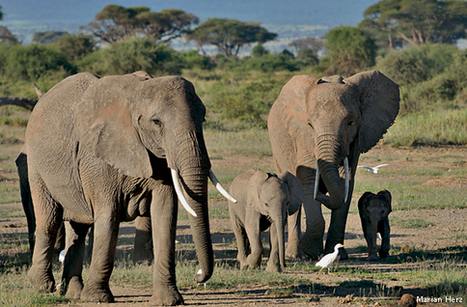 The Power of Elephant Matriarchs - National Wildlife Federation | Biodiversity | Scoop.it