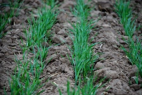 Winter wheat (Triticum aestivum L.) allelopathy responses to soil moisture and phosphorus stresses | International Journal of Biomolecules and Biomedicine (IJBB) | Scoop.it