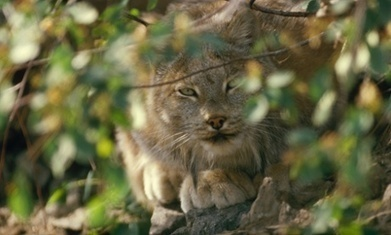 Call for greater protection of endangered lynx in the US | GarryRogers NatCon News | Scoop.it