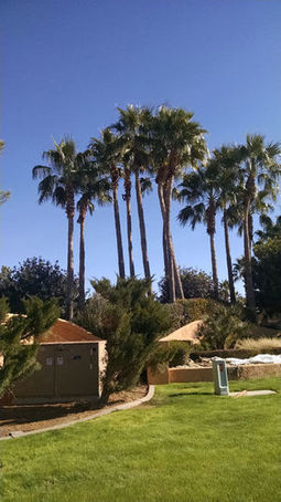 Arizona Gardeners: Picking the right palm trees for your landscaping needs | Tri-Valley Dispatch (Casa Grande AZ) | CALS in the News | Scoop.it