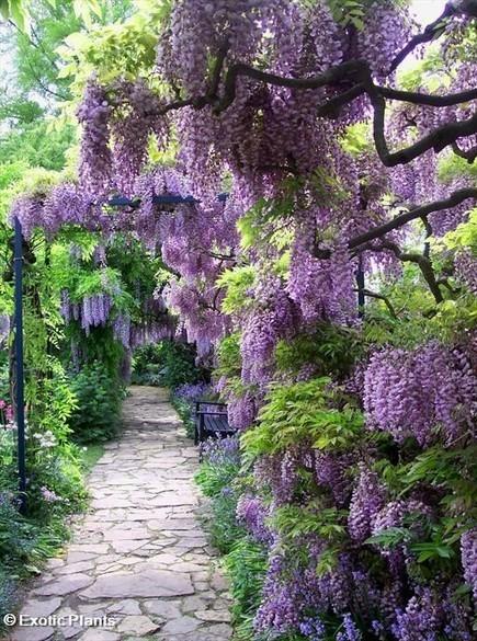 stunning wisteria path | Gardening Green | Scoop.it