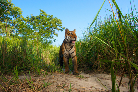 India's Tigers May Be Rebounding, in Rare Success for Endangered Species | Conservation Success | Scoop.it