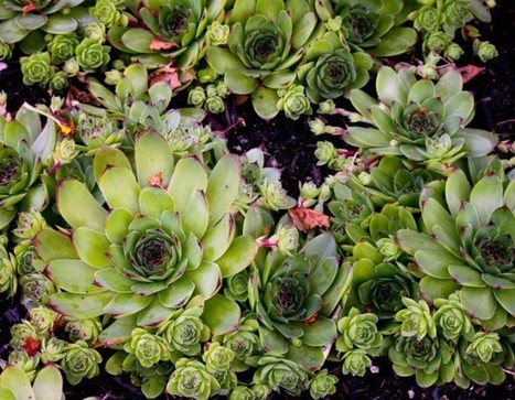 Maintain Your Health Naturally With Common Houseleek | eCellulitis | Intersting & Useful | Scoop.it