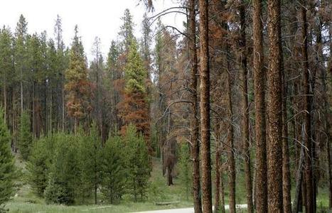 Current cold snap not enough to disrupt Colorado pine beetle threat | Community Tree Recovery | Scoop.it