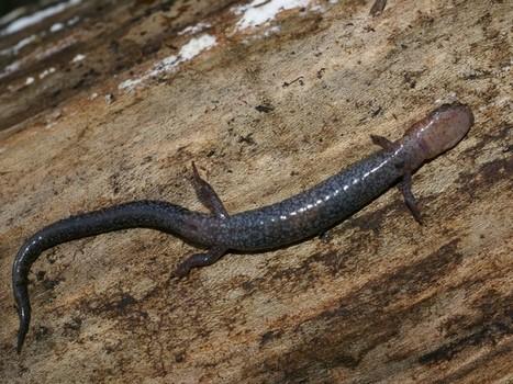 salamandre - Photos gratuites d'Amphibiens : Salamandre cendrée - Plethodon cinereus - Salamandre rayée - Eastern Red-backed Salamander   Fauna Free Pics - Public Domain - Photos gratuites d'animaux   Scoop.it