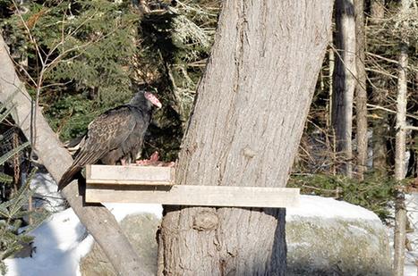 Maine vulture misses Florida flight | Maine Morsels | Vulture Love | Scoop.it