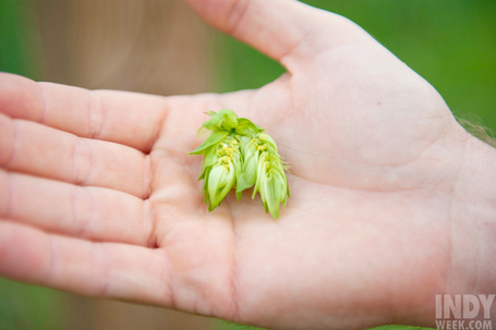 Is there a future for North Carolina hops farming? | Research from the NC Agricultural Research Service | Scoop.it