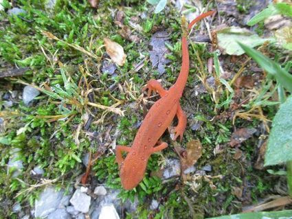 The red efts are on the move! -- HollerPhenology | Earth and Psyche | Scoop.it