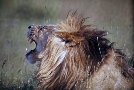 Lion Numbers Plunge as African Wilderness Succumbs to Human ... | Geography in the News @BIS | Scoop.it