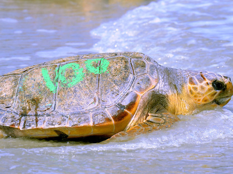 52 #rescued sea #turtles return to ocean at Little Talbot Island | Rescue our Ocean's & it's species from Man's Pollution! | Scoop.it