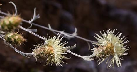 Centaurea incompleta endemic flower of Mount Olympus Ενδημική Κενταύρια του Ολύμπου | Όλυμπος | Scoop.it