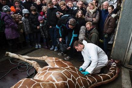 Danish animal welfare group backs zoo's giraffe killing   Marius   Scoop.it