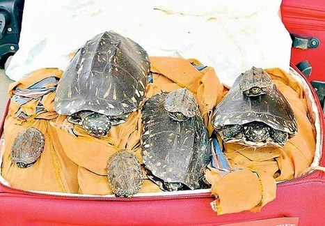 Indian airport officials seize 700 smuggled tortoises in two months | Wildlife Trafficking: Who Does it? Allows it? | Scoop.it