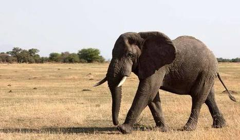 Tanzania's elephants in peril | Wildlife Trafficking: Who Does it? Allows it? | Scoop.it