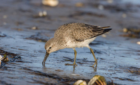 Climate Change and the Case of the Shrinking Red Knots | Farming, Forests, Water, Fishing and Environment | Scoop.it