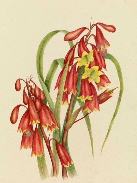 Historic Tasmanian wildflower watercolours revealed 130 years late | Australian Plants on the Web | Scoop.it