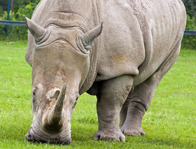 Irish man faces extradition for alleged rhino horn theft | Rhino poaching | Scoop.it