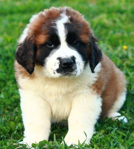 Saint Bernard puppy   Openads   Free Indian Classifieds           www.openfreeads.com   Scoop.it
