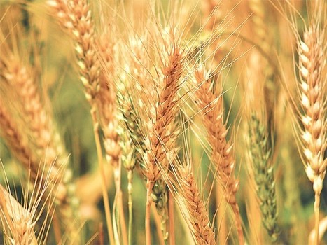 Nepal: Wheat output expected to fall '6 percent' | WHEAT | Scoop.it