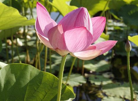 Comment réussir le lotus | planter des bulbes | Scoop.it