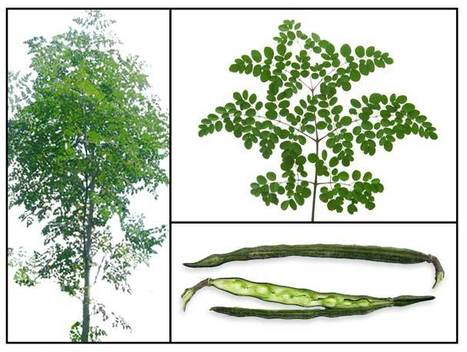Moringa: Super facts about a Super Plant | Lemlem | Scoop.it