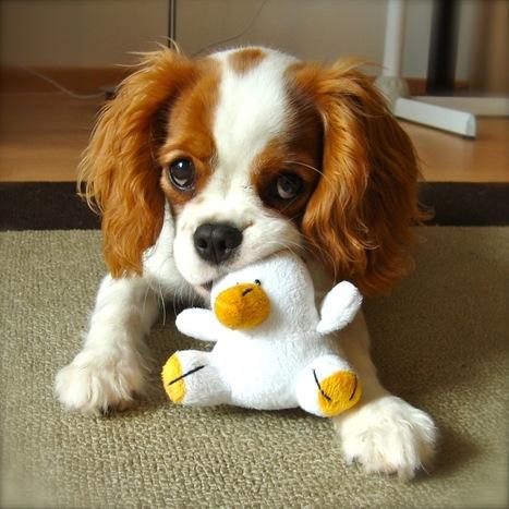 Le blog de assurance-chien :: Assurance chien - portrait sur le labrador | Assurance chien animaux | Scoop.it