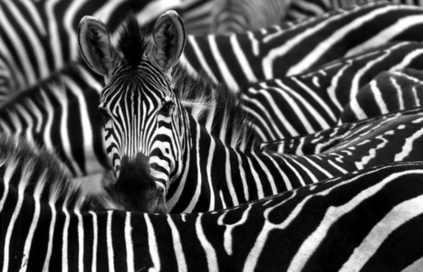 20 Things You Didn't Know About Zebras | Animals and Other Stories | Scoop.it