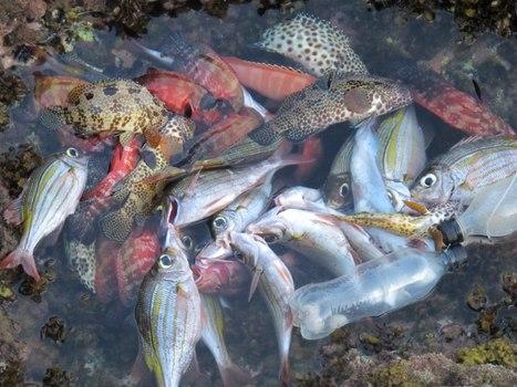 Catastrophe écologique ! Plus de 7 000 cadavres de poissons en 15 jours sur la plage de l'Ermitage! | Mes passions natures | Scoop.it