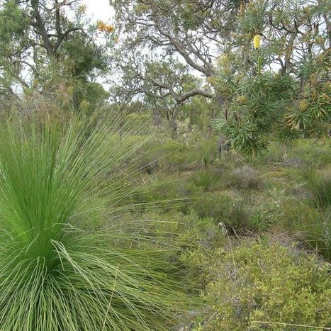 WA Government urged to save Banksia woodland from clearing | Australian Plants on the Web | Scoop.it