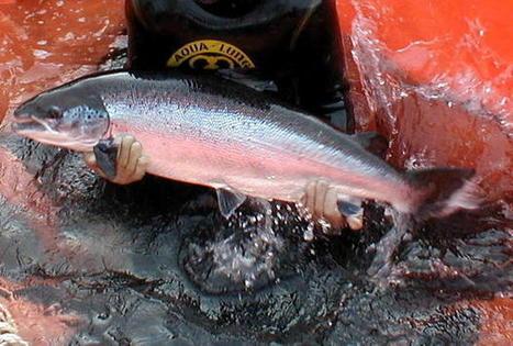 FDA: Genetically modified salmon may be approved in 2013 - Digital Journal - DigitalJournal.com | regulación biotecnología | Scoop.it
