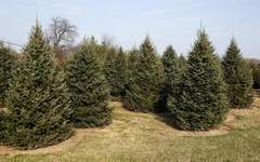 Drought, heat take toll on Christmas firs in Indiana | Climate Chaos News | Scoop.it