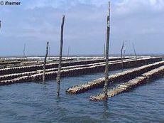 Plastiques en mer: la santé des huîtres s'en ressent - Journal de l'environnement | La sélection de BABinfo | Scoop.it