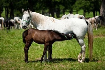 Does Dam or Sire Age Affect Offspring Gender? | Equine Reproduction | Scoop.it