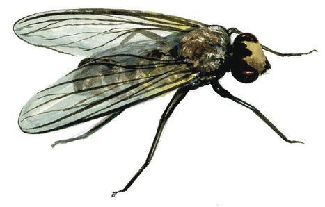 39 dipt res 39 in vari t s entomologiques - Comment tuer une mouche ...