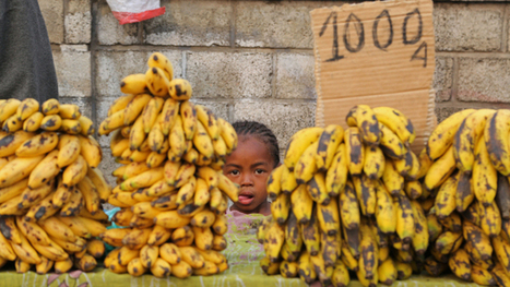 How the global banana industry is killing the world's favorite fruit | Trends in Sustainability | Scoop.it