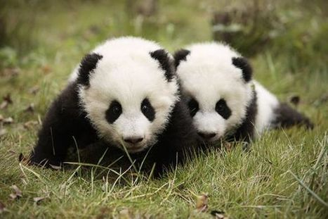 Climate Change Could Starve the World's Giant Pandas | Conservation | Scoop.it