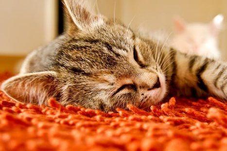 La gripe felina y la panleucopenia felina. | Universo Mascota | Scoop.it