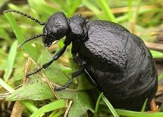 Buglife | News | Extinct oil beetle discovery takes species numbers from fab four to famous five | Heathers Scoop | Scoop.it